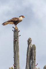 On The Watch (caropho) Tags: bonaire besonderegemeinde netherlands antilles abc caribbean bird birds of prey wildlife outdoor canon