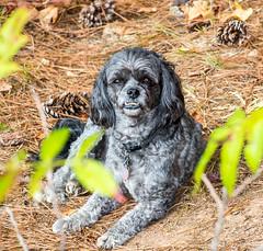 Brodie (ScreaminScott) Tags: dog brodie chillin