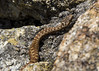 Adder (goose1041) Tags: adder snake vipera viperaberus berus viper venom serpent reptile