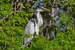 Cocoi Heron (Ardea cocoi) (Susan Roehl) Tags: braziltrip2016 cuiabariver thepantanal brazil southamerica cocoiheron ardeacocoi riverbank bird animal outdoors ardeidaefamily swamps freshwaterlakes similartogreyheronsandblueherons sueroehl naturalexposures photographictours panasonic lumixdmcgh4 100400mmlens coth5