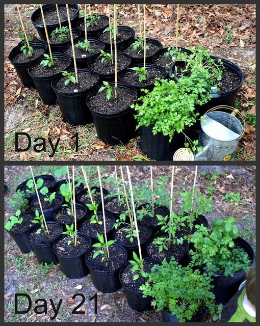 Garden Day 1, Day 21