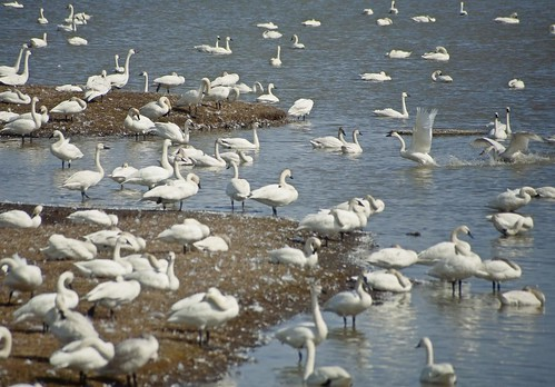 Spring Migration of Tundra Swans