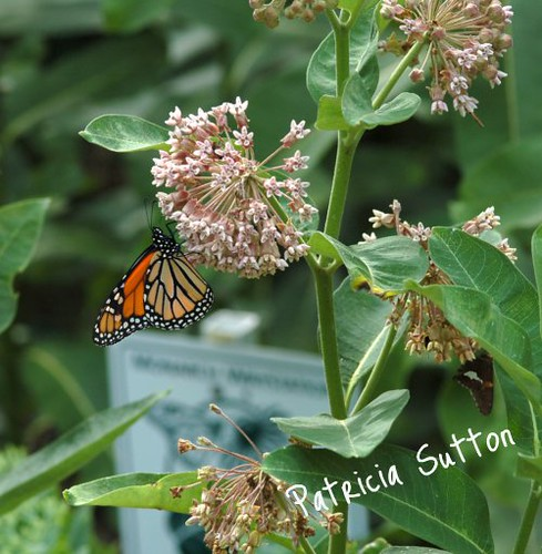 Monarch on Common Milkweed in Sutton's Monarch Waystation-byPatSutton