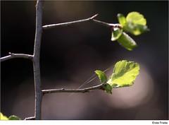Erste Triebe (to.wi) Tags: green spring grn blatt bltter frhling gegenlicht triebe towi