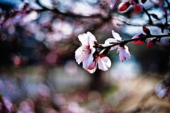 The heart of blossom (moaan) Tags: life leica light sunlight digital 50mm march spring dof blossom bokeh dr almond summicron utata blossoming m9 f20 2011 ordinarylife explored inlife leicasummicron50mmf20dr comeintoblossom leicam9 gettyimagesjapanq2