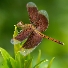 Neurothemis fulvia (Drury, 1773) male (Chrisseee) Tags: travel red green canon thailand wings asia dragonfly lace unidentified digitalcameraclub doublyniceshot kristiinahillerstrm chrisseee