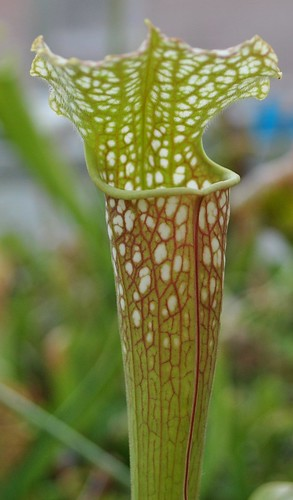 Sarracenia 'John Wyndham'