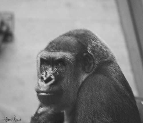 gorilla bn by crom84
