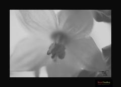 Green Chilly Flower in B&W (HamimCHOWDHURY  [Active 01 Feb 2016 ]) Tags: life red portrait blackandwhite white black green nature canon eos colorful faces blu sony surreal dhaka vaio rgb bangladesh dlsr 60d incrediblebengal 595036 framebangladesh gettyimagesbangladeshq2