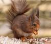 'NoshTalgia' (Ian Hayhurst) Tags: redsquirrel sciurusvulgaris britishwildlifecentre specanimal canonef200mmf28liiusm