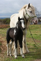 Proud Mum! (Chrissie28IWish! - waiting to see how Meg goes) Tags: blue sky horse baby white black green grass animal nose mare young hoof animalia mane nostrils bridle foal tether