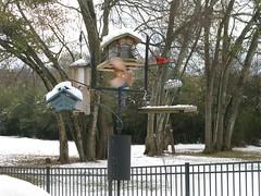 Red Cardinal / Northern Cardinal (Life Is Random Photos) Tags: winter snow bird nature birds cardinal wildlife canonpowershot northerncardinal redcardinal backyardbirds natureinwinter canong9 powershotg9 winterintennessee cardinalphoto lifeisrandomphotostream wildlifeinhewinter