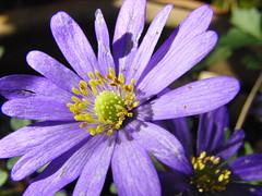 Spring Flower Garden- Please Identify (Alex Staniforth: Wildlife/Nature Photography) Tags: flower alex spring purple casio mount pleasant staniforth kelsall exfh20