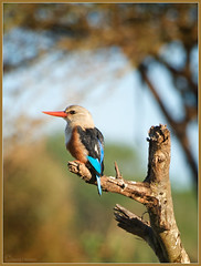 Grey-Headed Kingfisher (Joost N.) Tags: africa light wild sun color tree bird nature animal animals nikon kenya bokeh african wildlife mara kingfisher afrika colored nikkor dieren joost kenia masai vogel d700 notten