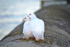 """Pigeons"" (Raffphoto Ltd St Austell Cornwall Photographer) Tags: photo pigeons winning gobie winningphoto raffphoto"