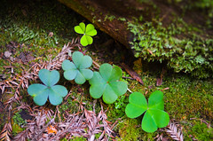 Shades of shamrock (blupic) Tags: flowers irish macro green monument forest moss woods nikon floor hiking national nikkor clover muir shamrock 35mmf2 d7000