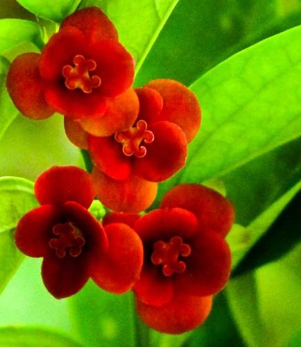 IMG_0555 树仔菜的花 。 Red flowers