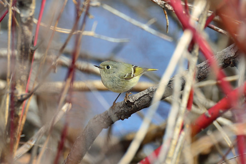 Ruby-crowned Kinglet DSC_9536