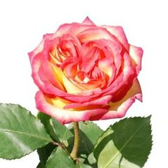 Star_Ambiance_Novelty_Bicolor_Rose_250