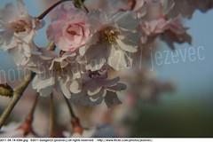 2011-04-14 0586 Sakura, Prunus serrulata, the weeping cherry tree blossoms (Badger 23 / jezevec) Tags: park pink flowers flower tree cherry spring blossom indianapolis blossoms indiana anh bloom  flowering sakura blooms holliday weeping hoa blooming prunus cerezo weepingcherry    kirschblte   jezevec cvijet serrulata shidarezakura prunusserrulata o krsbr   cseresznyevirg japanskt  hoaanho kirsuberjatr badger23 namumulaklak  trenjin    seresang trenjincvijet