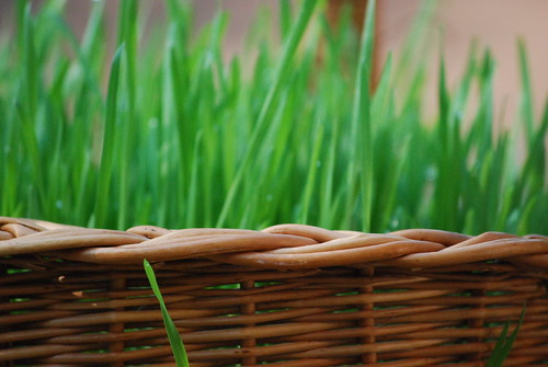 wheatgrass basket