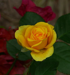 A 90 (tyro5) Tags: park flowers trees color green nature leaves rose bloom backgarden bouquet pollen biology twigs shrubs blooming