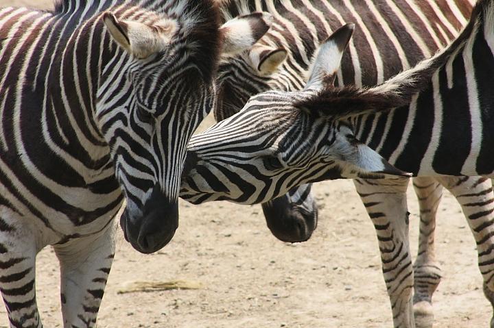 木柵動物園(斑馬)042
