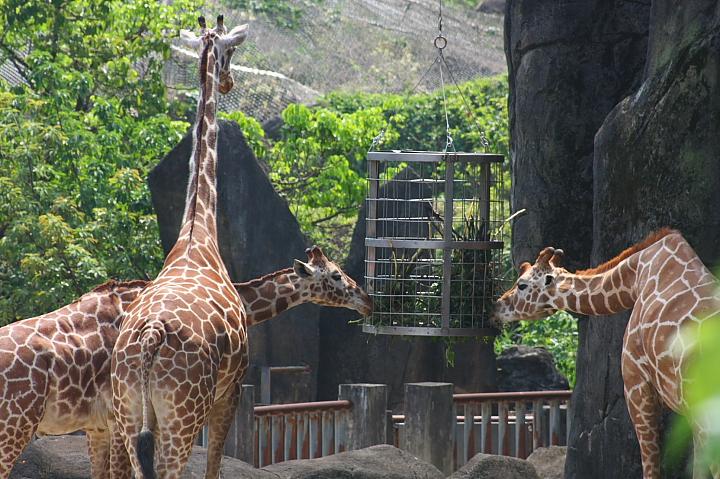 木柵動物園(長頸鹿)046