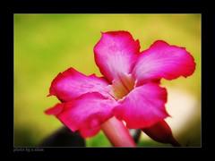 All my life! (e.nhan) Tags: pink flowers light flower art nature closeup landscape colorful colours dof bokeh arts backlighting enhan