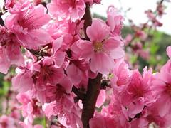 """BLOOMING "" (zaazaa777) Tags: japan garden photography tulips cherryblossoms cultural plumblossoms wonderfulworldofflowers"