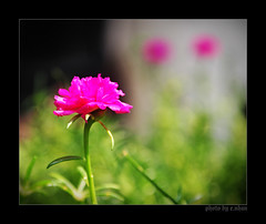 Missing You! (e.nhan) Tags: pink flowers light red flower art nature closeup landscape spring colorful colours dof bokeh arts backlighting enhan