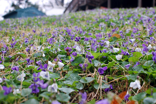 violets in our backyard