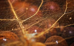 Valed (jaxxon) Tags: abstract blur detail macro closeup leaf nikon focus dof close little zoom bokeh decay small pad depthoffield tiny abstraction veins 365 seethrough transparent nikkor magnified upclose myfave magnify closer seethru zoomed lilliputian 2011 d90 nikor project365 f28g jaxxon jackcarson zoomedin apicaday 365111 ayearinpictures 111365 nikond90 hpad project365111 nikkor105mmf28gvrmicro desklickr jacksoncarson jacksondcarson ayearinphotographs hpadw project3652011 2011yip 3652011 yip2011 2011ayearinpictures project3651112011 2011365111