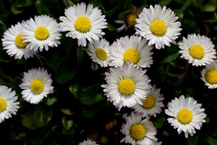 Daisy Delight (jacki-dee) Tags: english oregon garden lawn daisy april common asteraceae bellis bellisperennis perennis englishdaisy lawndaisy commonweed lawnweed bruisewort