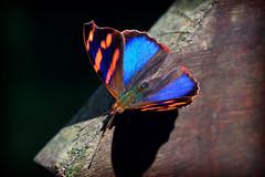 Butterfly (Edi Eco) Tags: detail macro nature azul canon butterfly rebel wings natureza 100mm sp borboleta strong asa paulo serra sao mata aguas claras atlantica xsi asas cantareira nucleo divisa