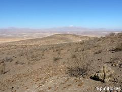 073-dia08-desierto (Spiniflores) Tags: horridoauto miqueliopuntia miquelii miqueliopuntiamiquelii