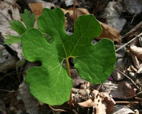 Bloodroot Leaf