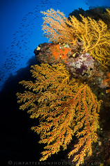 Fathoms - Mount Mutiny, Fiji (Jim Patterson Photography) Tags: ocean blue fish yellow fiji underwater deep scuba diving southpacific tropical reef tropics fins depths softcoral gorgonians seafans jimpattersonphotography jimpattersonphotographycom mountmutiny seatosummitworkshops seatosummitworkshopscom