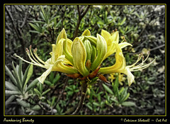 Awakening Beauty (Cat-Art) Tags: ireland flower nature yellow catart awakeningbeauty catrionashatwell catart~catrionashatwell catrionashatwell~northernireland catart~northernireland catrionashatwell~catart~ireland wwwdoublevisionimageswebscom