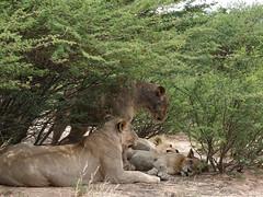 Pride of lion at Mpayathutlwa Pan (jaffles) Tags: nature animals tiere nationalpark wildlife natur lion olympus afrika botswana e3 predator mammals kalahari lwen raubtiere raubkatzen kgalagadi