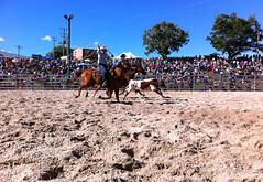Dayboro rodeo - calf roping (Natashatashtash) Tags: horse cow cattle rope rodeo calf roping lasso brisbanemeetup daybororodeo2011