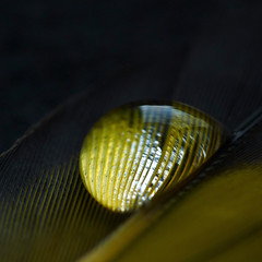 Feather stripes (annkelliott) Tags: canada macro calgary nature closeup lumix waterdrop pattern stripes feather alberta refraction pointandshoot supermacro squarecrop mykitchen waterdroplet birdfeather southernalberta annkelliott fz35 dmcfz35 panasonicdmcfz35 p1220943fz35