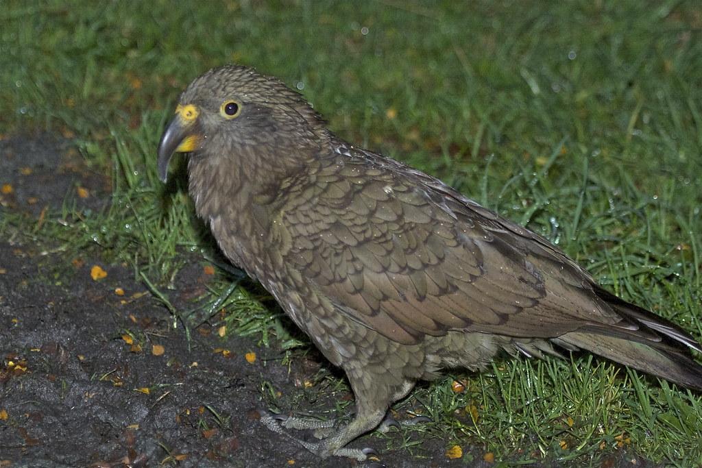 Kea dawn raid - Kea - Nestor notabilis