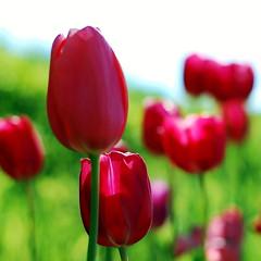 Se (Elena_Bernasconi) Tags: flower nature colors natura tuscany tulip fiori toscana colori tulipani