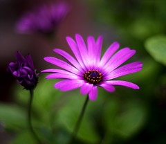 What is the name of this flower? (nicol parasole) Tags: macro pentax african daisy k5 osteospermum dimorphoteca greatphotographers nicopara71 nphotography