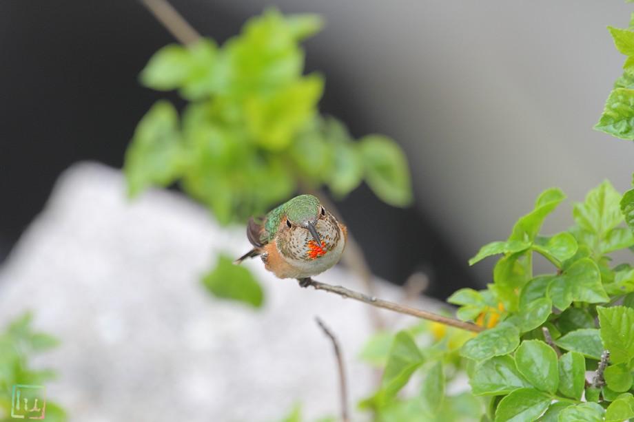 Allen's Hummingbird 042411-2