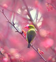 #697 小綠櫻櫺 Take time to smell the roses (John&Fish) Tags: bird nature birds wow photography searchthebest taiwan best sensational topgun 2011 secretenchantedgardens imagepiexcellance