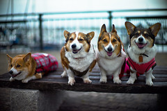 Form up in line :) (moaan) Tags: leica friends dog digital 50mm corgi dof meetup bokeh f10 utata noctilux welshcorgi groupshot m9 childhoodfriends 2