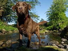 Chatsworth estate & Riley (gazjeavons) Tags: dogs water riley labrador derbyshire rivers streams scenics chatsworth chocolatelabrador ringexcellence