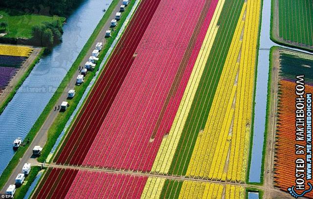 tulipsbloomHolland2